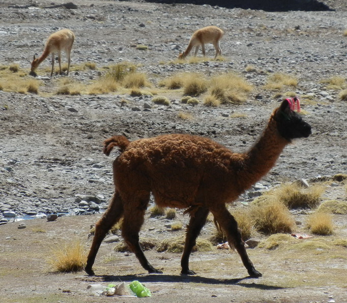 Alpaca and Vicuna