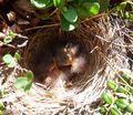 Baby Birds in their nest