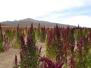 A field of quinoa