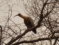 Ibis_in_a_tree