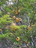 Pan del Indio growing in a beech tree