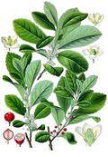 Ilex_paraguariensis plant
