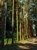 Pau-Mulatto trees