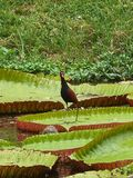 Wattled Jacana