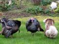 Turkeys on Gabriola