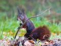 Black Red mixed up squirrel