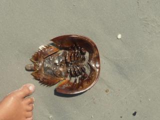 Underside Horseshoe crab