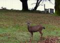 Front lawn deer