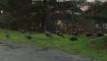 Foraging turkeys
