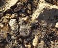 A cushion cactus that survived