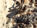 A small tarantula