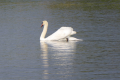 Swan on display