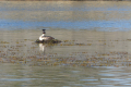 Great Crested Grebe duck
