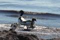 Shelduck and chicks