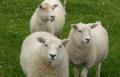 Three Fair isle sheep