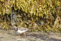 Twitching on a Turnstone