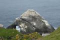 Gannet covered skerry