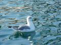 Yellow legged seagull
