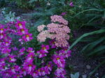Scianthus & Yarrow