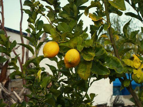 Ripe lemons to pick