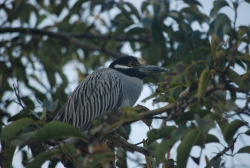 Jungle_Bird